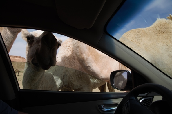 Camels at the car window
