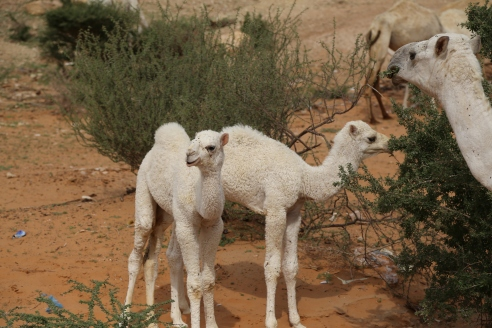Baby camels, south of Riyadh
