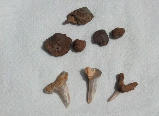 Saudi sea fossils - shark teeth and shells