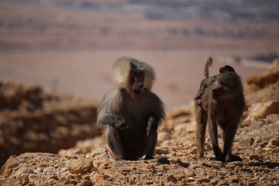 Desert baboons, south of Riyadh