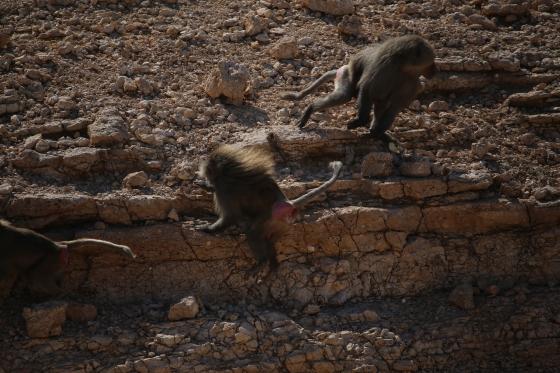 Desert Baboons, Riyadh, Saudi Arabia